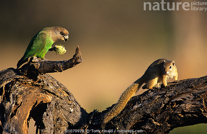 Smith's bush squirrel {Paraxerus cepapi} watching a Brown headed parrot {Poicephalus cryptoxanthus} feeding, South Africa  ,  BEHAVIOUR,BIRDS,FEEDING,MAMMALS,MIXED SPECIES,PARROTS,RESERVE,rodents,SOUTHERN AFRICA,SQUIRRELS,VERTEBRATES  ,  Tony Heald