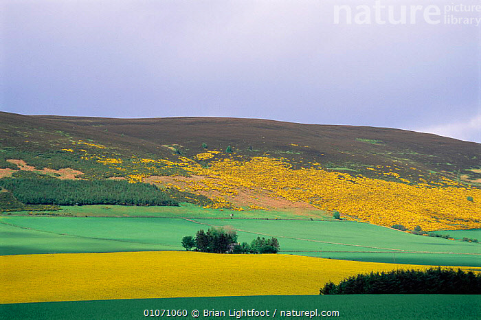 Farmland with moorland behind Oil seed rape crop and Gorse, Huntly, Grampian, Scotland, UK  ,  AGRICULTURE,COUNTRYSIDE,CROPS,EUROPE,FARMLAND,flowering,HIGHLANDS,LANDSCAPES,MOORLAND,SCOTLAND,UK,YELLOW,United Kingdom,British  ,  Brian Lightfoot