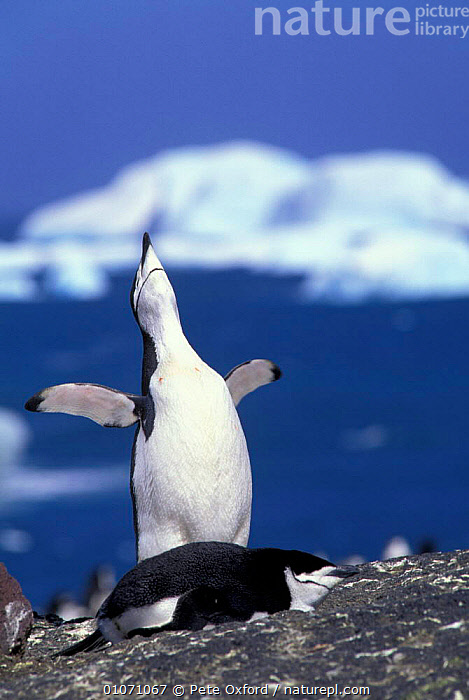 Chinstrap penguin - ecstatic display {Pygoscelis antarctica} South Sandwich Is  ,  BIRDS,HUMOUROUS,PENGUINS,SEABIRDS,FUNNY,HUMOUROUS,NESTING BEHAVIOUR,DISPLAYING,FLIGHTLESS,ICE,ISLANDS,SAUNDERS,WATER,REPRODUCTION, Seabirds  ,  Pete Oxford