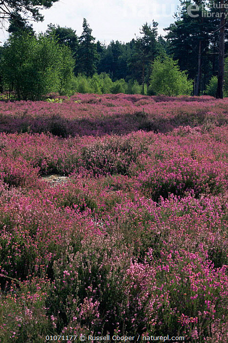 Dry heathland with flowering heather, Thursley Common NNR, Surrey, UK  ,  ENGLAND,EUROPE,FLOWERS,LANDSCAPES,PLANTS,RESERVE,UK,VERTICAL,United Kingdom,British  ,  Russell Cooper