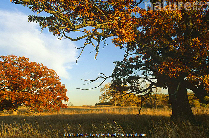 White oak trees {Quercus alba} WI, USA - Early autumn Sequence 4/5  ,  AUTUMN,DICOTYLEDONS,FAGACEAE,HORIZONTAL,LANDSCAPES,PLANTS,SEQUENCE,TREES,USA,North America  ,  Larry Michael