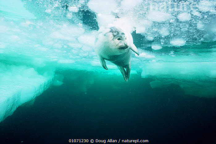 Harp seal {Phoca groenlandicus} pup under ice, St Lawrence Gulf, Canada., CANADA,CARNIVORES,ICE,MAMMALS,MARINE,OUTSTANDING,PINNIPEDS,SEALS,SWIMMING,UNDERWATER,VERTEBRATES,North America, CARNIVORES , CARNIVORES , CARNIVORES ,Catalogue1, Doug Allan