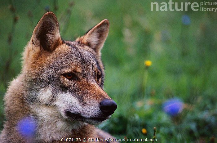 Grey wolf female in meadow {Canis lupus} captive, Carpathian mtns, Romania  ,  CARNIVORES,EUROPE,FEMALES,FLOWERS,MAMMALS,PORTRAITS,ROUMANIA,TRANSYLVANNIA,WOLVES,Dogs,Canids  ,  Staffan Widstrand