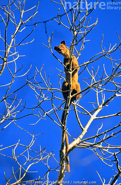 Fossa in tree (Cryptoprocta ferox) Western Dry Forest, Madagascar  ,  CARNIVORES,FOSSAS,MADAGASCAR,MAMMALS,TAILS,TREES,TROPICAL DRY FOREST,VERTEBRATES,VERTICAL,Plants  ,  Pete Oxford