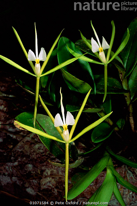 Rainforest orchid with white flowers, Iwokrama Reserve Guyana, South America  ,  SOUTH AMERICA,PLANTS,TROPICAL RAINFOREST,TROPICAL,ORCHIDS  ,  Pete Oxford
