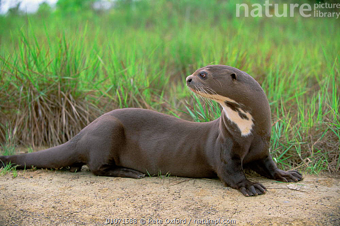 Giant otter {Pteronura brasiliensis} captive, Guyana  ,  VULNERABLE,SOUTH AMERICA,TREES,SAND,OTTERS,PLANTS,MAMMALS,CARNIVORES,CUTE,Mustelids  ,  Pete Oxford