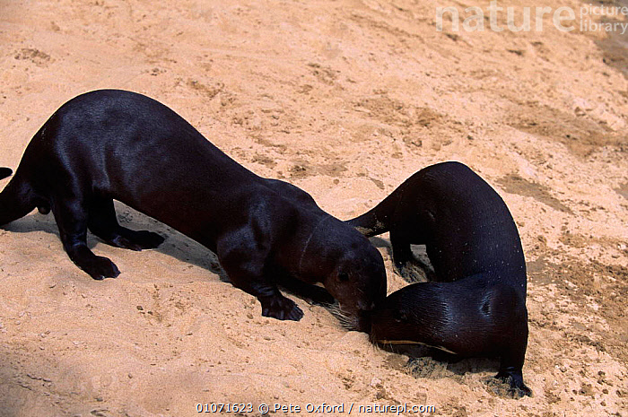two Giant otters sniffing  in greeting {Pteronura brasiliensis} Karanambu-Rupununi, Guyana  ,  CARNIVORES,MAMMALS,MUSTELIDS,otter,OTTERS,SOCIAL BEHAVIOUR,SOUTH AMERICA,tropical rainforest,VERTEBRATES  ,  Pete Oxford