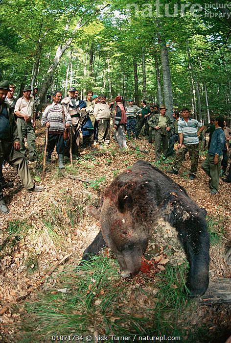 Hunters with dead Brown bear {Ursus arctos} Carpathian mountains, Romania.  ,  ARCTOS,CARNIVORES,DEATH,DOMNESTI,GUNS,HUNTING SPORT,LANDSCAPES,MAMMALS,PEOPLE,URSUS,VERTICAL,EUROPE  ,  Nick Turner
