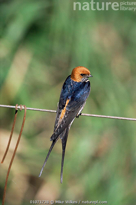 Lesser striped swallow {Cecropsis abyssinica} Maasai Mara, Kenya, East Africa  ,  AFRICA,BIRDS,EAST AFRICA,SWALLOWS,VERTEBRATES,VERTICAL  ,  Mike Wilkes