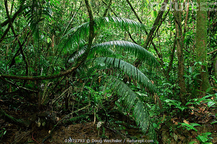 Rainforest with Eugenia sp. Lanjak-Entimau WS, Malaysia  ,  ASIA,PLANTS,RESERVE,SOUTH EAST ASIA,TREES,TROPICAL RAINFOREST,UNDERSTOREY,SOUTH-EAST-ASIA , understory  ,  Doug Wechsler