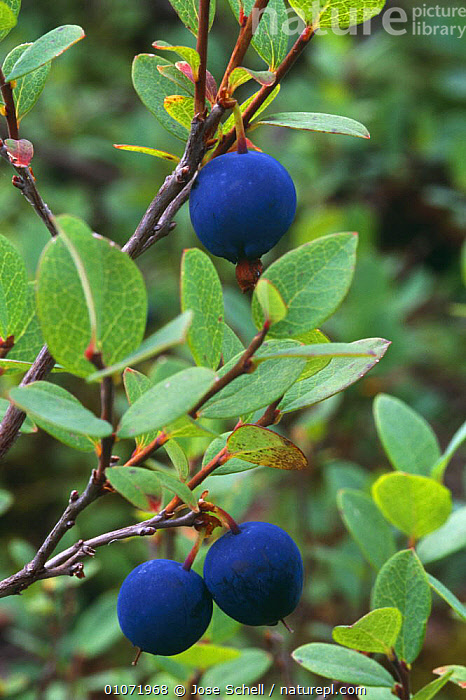 Blueberry {Vaccinium sp} Fruiting plant N Quebec, Canada, AUTUMN,BERRIES,CANADA,DICOTYLEDONS,EDIBLE,ERICACEAE,FRUIT,PLANTS,TAIGA,VERTICAL,North America, Jose Schell