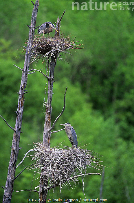 Great blue herons {Ardea herodias} nesting in dead tree, Quebec, Canada, BIRDS,CANADA,HERONS,NESTS,TWO,VERTEBRATES,VERTICAL,WADERS,North America, Louis Gagnon