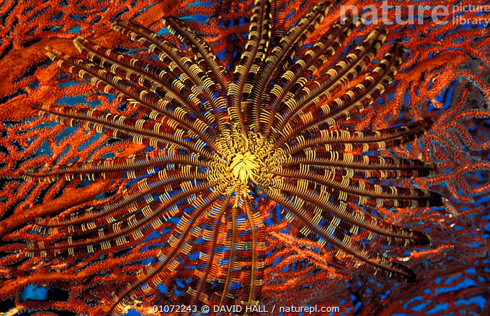 Featherstar on red seafan {Crinoidea}, Solomon Islands  ,  TROPICAL,UNDERWATER,HORIZONTAL,FAN,MARINE,PACIFIC,,ABSTRACT,ECHINODERMS,CLOSE UPS,COLOURFUL,CRINOIDS,INVERTEBRATES, Invertebrates  ,  DAVID HALL