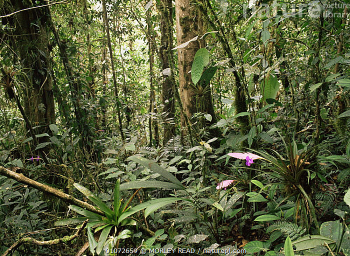 Nature Picture Library Cloud Forest With Bromeliad Tillandsia
