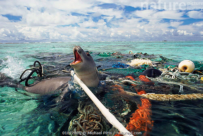 Hawaiian monk seal caught in fishing tackle off Kure Atoll, Pacific Ocean. The seal was subsequently freed and released by the photographer.  ,  ATOLL,CONCEPTS,DESTRUCTION,ENDANGERED,FISHERIES,FISHING,HORRIFIC,KURE,MICHAEL,MP,NETS,OCEAN,PACIFIC,PITTS,SAD,RUBBISH,REFUSE,Marine,Catalogue1, ENTANGLED, PLASTIC  ,  Michael Pitts