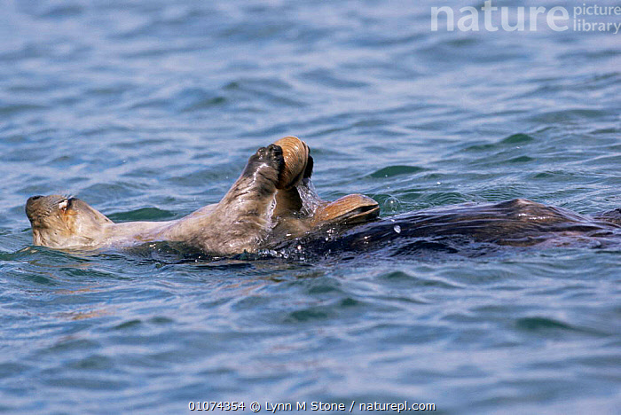 Nature Picture Library - Sea otter eating clams {Enhydra