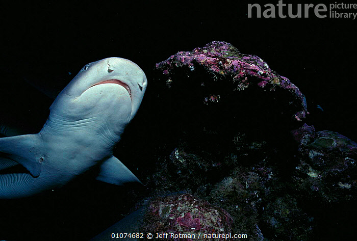 Whitetip reef shark hunting at night {Triaenodon obesus}  Cocos Island, Pacific Ocean off Costa Rica  ,  CENTRAL AMERICA,COCOS,FISH,HORIZONTAL,JR,MARINE,NIGHT,ONE,PACIFIC,SHARKS,TROPICAL,UNDERWATER, Fish  ,  Jeff Rotman