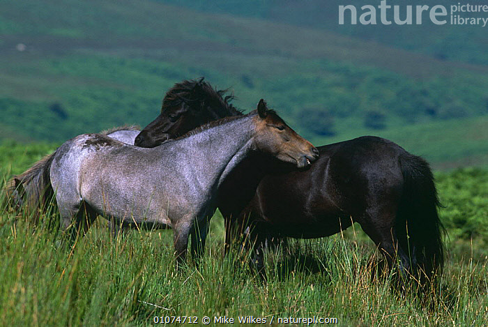 Exmoor ponies mutual grooming {Equus caballus} Devon, UK  ,  AFFECTIONATE,ARTIODACTYLA,ENGLAND,EUROPE,GROOMING,HEATHLAND,HORSES,MAMMALS,MOORLAND,PERISSODACTYLA,RESERVE,SOCIAL BEHAVIOUR,TWO,UK,VERTEBRATES,United Kingdom,concepts,British  ,  Mike Wilkes