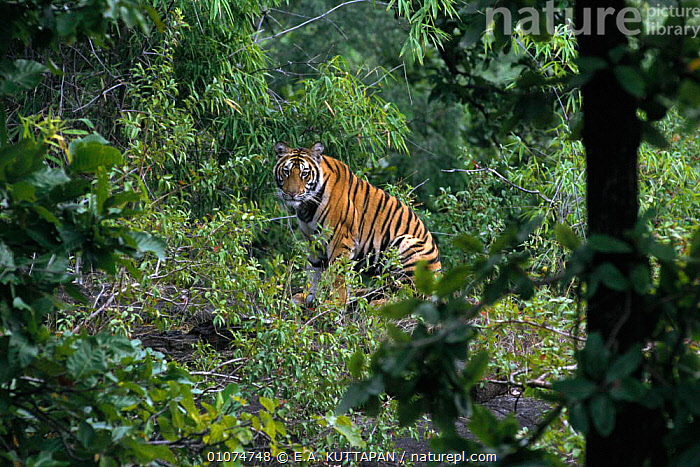 Juvenile male Bengal tiger {Panthera tigris tigris}, Bandhavgarh NP, India  ,  BANDHAVGARH,CARNIVORES,CATS,ENDANGERED,FOREST,HABITAT,HORIZONTAL,INDIA,JUVENILE,KU,MALES,MAMMALS,NP,STRIPES,TREES,PLANTS,NATIONAL PARK,TIGERS,BIG CATS  ,  E.A. KUTTAPAN