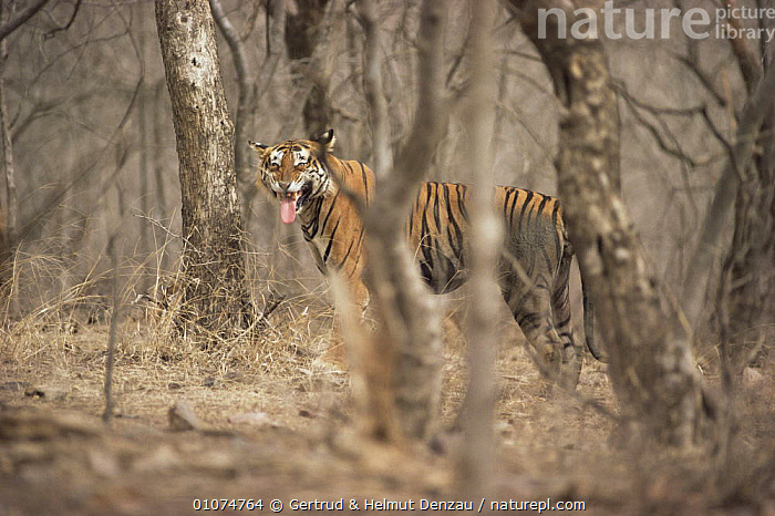 Bengal tiger 'flehmen' reaction {Panthera tigris tigris}, Ranthambhore NP, India  ,  BIG CATS,CARNIVORES,ENDANGERED,FACES,HEADS,HORIZONTAL,INDIAN SUBCONTINENT,MAMMALS,MOUTHS,NP,PROFILE,STRIPES,TEETH,TIGERS,TREES,Asia,Plants,National Park  ,  Gertrud & Helmut Denzau