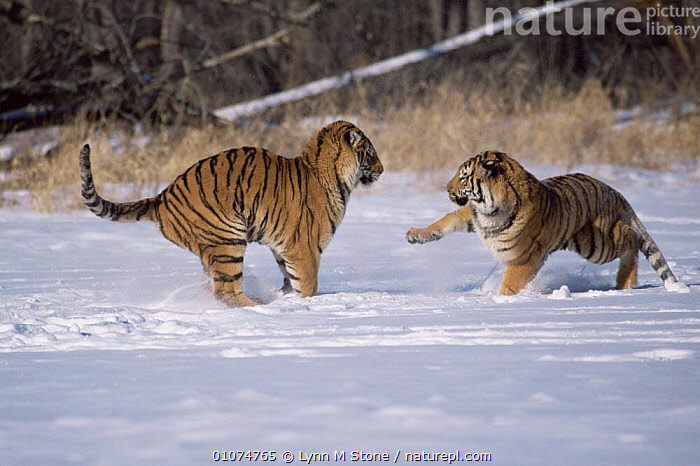 Siberian tigers fighting in snow {Panthera tigris altaica} captive  ,  ACTION,AGGRESSION,BIG CATS,CARNIVORES,CATS,ENDANGERED,FIGHTING,MALES,MAMMALS,SNOW,STRIPES,TIGERS,USA,WINTER,North America,Concepts  ,  Lynn M Stone