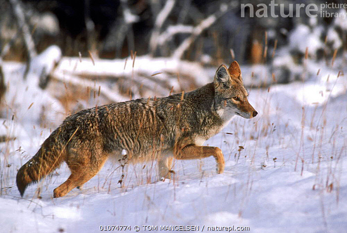 Coyote {Canis latrans} Yellowstone National Park, Wyoming, USA.  ,  DOGS,CARNIVORES,MAMMALS,SNOW,CANIDS  ,  TOM MANGELSEN