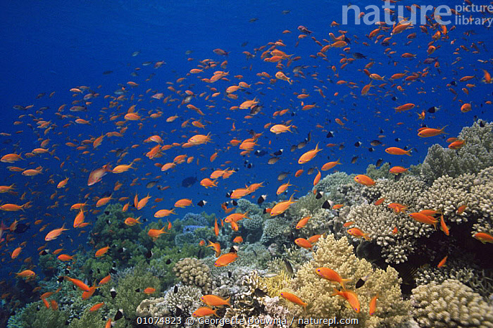 Coral reef with Anthias, Red Sea, Egypt  ,  ANTHIAS,BLUE,CORAL REEFS,GROUPS,INVERTEBRATES,LANDSCAPES,MARINE,RED SEA,TROPICAL,UNDERWATER,Anthozoans, Cnidaria  ,  Georgette Douwma