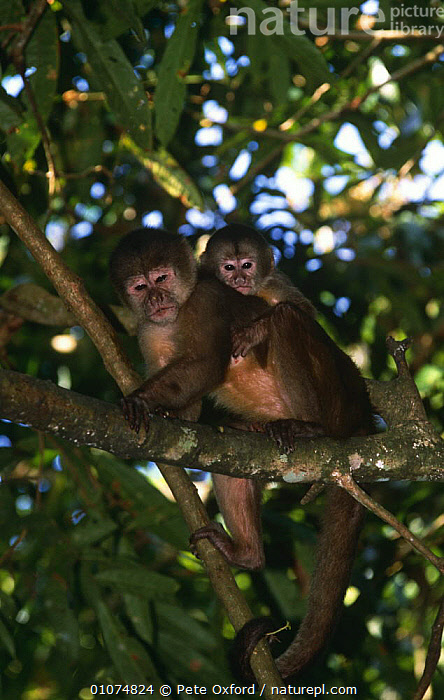 White fronted capuchin monkey {Cebus albifrons} mother with young, Amazonia, Ecuador  ,  BABIES,CAPUCHINS,MAMMALS,MONKEYS,PRIMATES,SOUTH AMERICA,tropical rainforest,VERTEBRATES,VERTICAL  ,  Pete Oxford