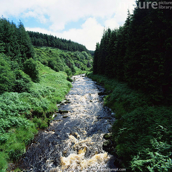 Lewisburn river after rain, surrounded by Forestery plantations, Kielder Forest, Northumberland, UK.  ,  CONIFEROUS,ENGLAND,LANDSCAPES,PLANTATIONS,RIVERS,UK,VERTICAL,WOODLANDS,Europe,United Kingdom,British  ,  Michael W. Richards