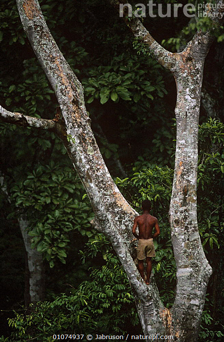 Mbuti pygmies in tree tops searching for wild honey, Epulu Rainforest Reserve, Democratic Republic of Congo (formerly Zaire)  ,  AFRICA,CENTRAL AFRICA,CLIMBING,CULTURES,FORESTS,HARVESTING,HUNTING FOOD,NESTS,PEOPLE,PLANTS,TRADITIONAL,TREES,TRIBES,TROPICAL,TROPICAL RAINFOREST,VERTICAL , Bruce Davidson  ,  Jabruson