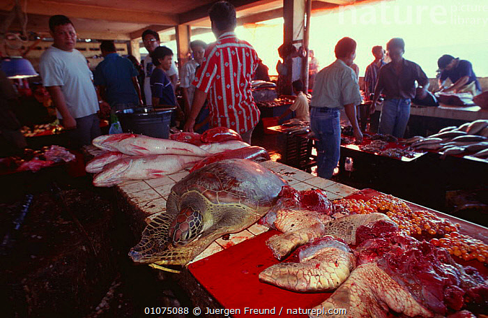 Sea turtle meat for sale in fish market, Indonesia  ,  ASIA,CULTURES,ENDANGERED,FISH,FISHING,HUNTING FOOD,ILLEGAL,INDONESIA,MARINE,MARKETS,PEOPLE,REPTILES,SOUTH EAST ASIA,TRADE,TURTLES,SOUTH-EAST-ASIA  ,  Jurgen Freund