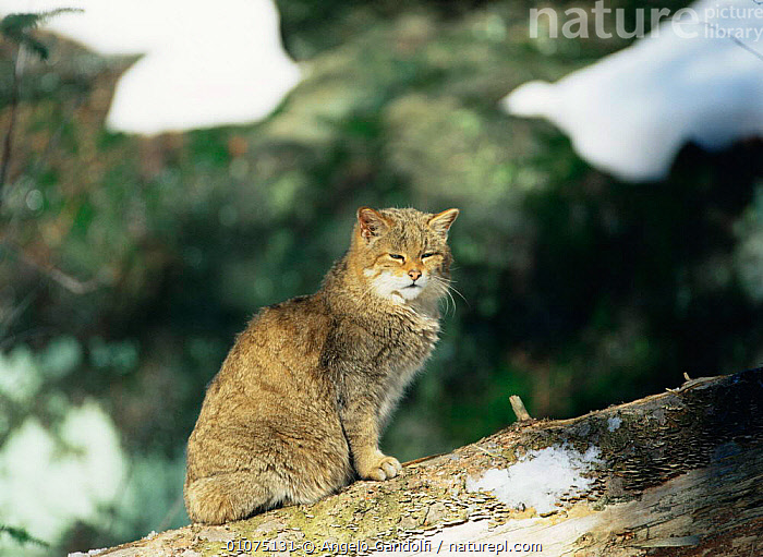 Wild cat {Felis silvestris} Bayerisch NP, Germany  ,  CARNIVORES,CATS,EUROPE,GERMANY,MAMMALS,NP,RESERVE,VERTEBRATES,National Park  ,  Angelo Gandolfi