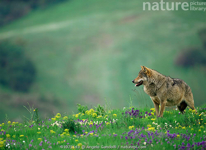 Wild Grey wolf {Canis lupus} Abruzzo National Park, Italy  ,  CANIDS,CARNIVORES,EUROPE,HORIZONTAL,ITALY,MAMMALS,RESERVE,VERTEBRATES,VERTICAL,WOLVES,Dogs  ,  Angelo Gandolfi
