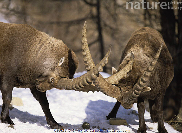 Alpine ibex {Capra ibex ibex} males fighting with horns locked, Gran Paradiso NP, Italy  ,  ARTIODACTYLA,BEHAVIOUR,BOVIDS,COMPETITION,DOMINANCE,EUROPE,FIGHTING,GOATS,HORIZONTAL,HORNS,ITALY,MALES,MAMMALS,RESERVE,SNOW,TREES,VERTEBRATES,WINTER,Plants,Aggression,Antelopes,Concepts  ,  Angelo Gandolfi