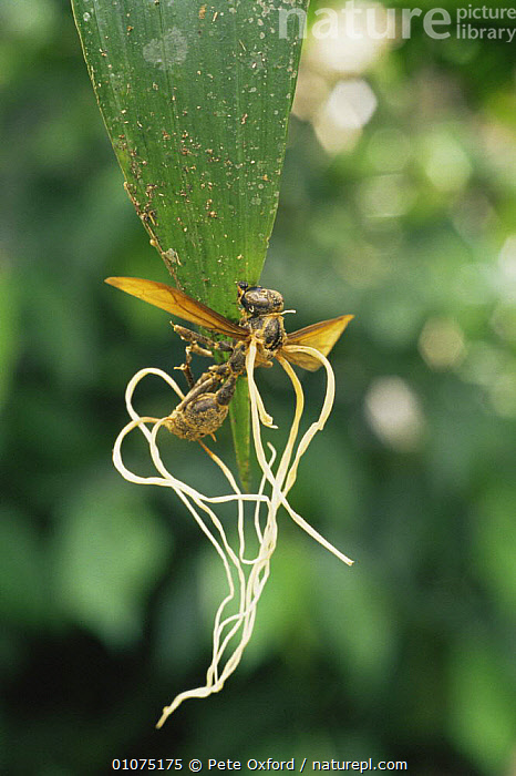 Braconid wasp {Braconidae} covered in parasitic fungal growth {Cordiceps sp} Amazonia, Ecuador  ,  FUNGI,FUNGUS,HYMENOPTERA,INSECTS,INTERESTING,INVERTEBRATES,PARASITIC WASPS,SICK,SOUTH AMERICA,TROPICAL RAINFOREST,VERTICAL,WASPS  ,  Pete Oxford