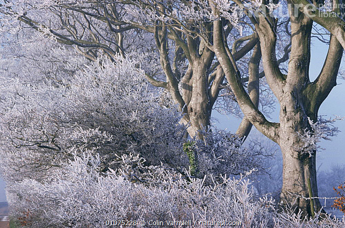 Hoar frost on trees, woodland, UK  ,  EUROPE,FROST,HORIZONTAL,ICE,TREES,UK,WINTER,WOODLANDS,United Kingdom,Weather,Plants,British  ,  Colin Varndell