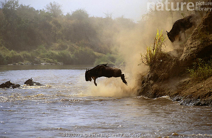 Wildebeest jumping into Mara River {Connochaetes taurinus} Masai Mara GR, Kenya  ,  ACTION,AFRICA,ANNUAL,ARTIODACTYLA,BOVIDS,DRAMATIC,EAST AFRICA,HERDS,JUMPING,LEAPING,MAMMALS,MIGRATION,RESERVE,RIVERS,VERTEBRATES,WATER,WILDEBEESTS,Antelopes  ,  Peter Blackwell