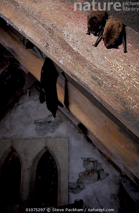 Common pipistrelle bats roosting in roof {Pipistrellus pipistrellus} Bristol, UK  ,  URBAN,WILDLIFE,VERTICAL,ROOST,BRITISH,BUILDINGS,ENGLAND,EUROPE,CHIROPTERA,MAMMALS  ,  Steve Packham