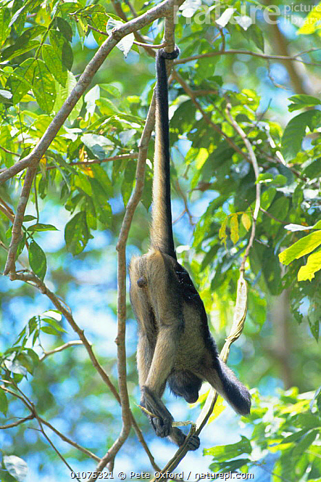 Yellow bellied spider monkey using prehensile tail. Ecuador {Ateles belzebuth belzebuth}  ,  PRIMATES,ARBOREAL,SOUTH AMERICA,TAILS,VERTICAL,TROPICAL RAINFOREST,MAMMALS,AMAZONIA,HANGING,MONKEYS  ,  Pete Oxford