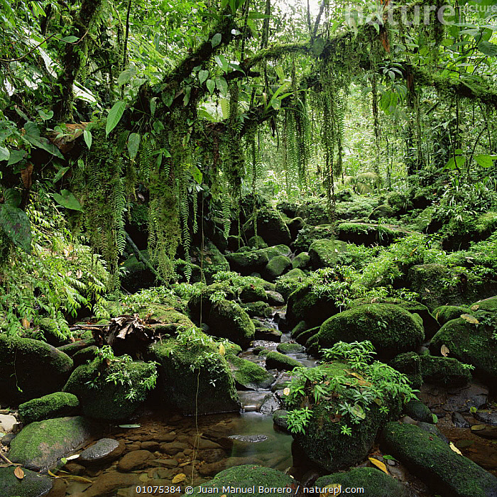 Tropical rainforest with stream, Braulio Carrillo NP, Costa Rica  ,  CENTRAL AMERICA,FERNS,INTERIOR,LANDSCAPES,LUSH,NP,PLANTS,RESERVE,RIVERS,STREAMS,TREES,TROPICAL,TROPICAL RAINFOREST,WATER,National Park  ,  Juan Manuel Borrero