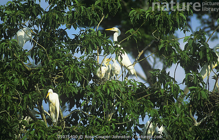 Great egret {Ardea alba} nesting colony, Ibera Marshes, Argentina  ,  BABIES, BIRDS, FAMILIES, GROUPS, HERONS, MALE-FEMALE-PAIR, NESTS, SOUTH-AMERICA, USA, VERTEBRATES, WADERS,North America  ,  Ross Couper-Johnston