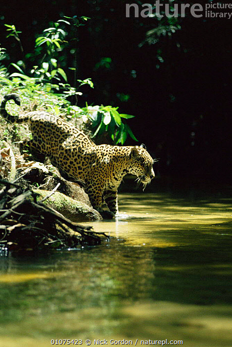 Wild Jaguar male hunting in stream {Panthera onca} Amazonia, Brazil.  ,  BIG CATS,BRAZIL,CARNIVORES,CATS,HORIZONTAL,MALES,MAMMALS,RIVERS,SOUTH AMERICA,TROPICAL RAINFOREST,WATER  ,  Nick Gordon