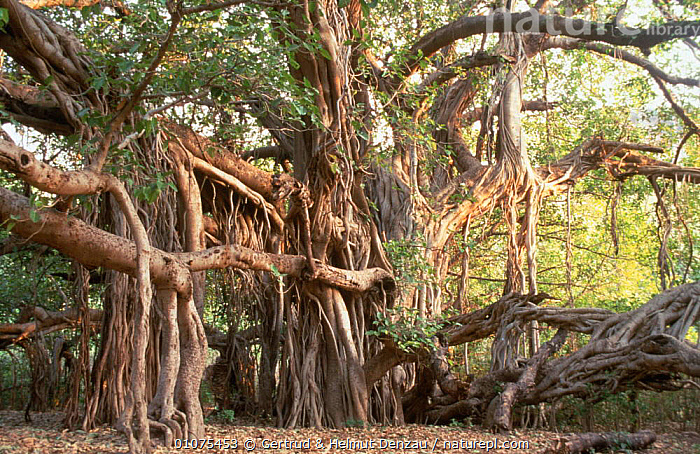 Indian banyan tree {Ficus benghalensis} Ranthambhore NP, Rajasthan, India  ,  Aerial, DICOTYLEDONS, INDIAN-SUBCONTINENT, MORACEAE, PLANTS, PORTRAITS, RESERVE, ROOTS, TREES, tropical dry forest,Asia  ,  Gertrud & Helmut Denzau
