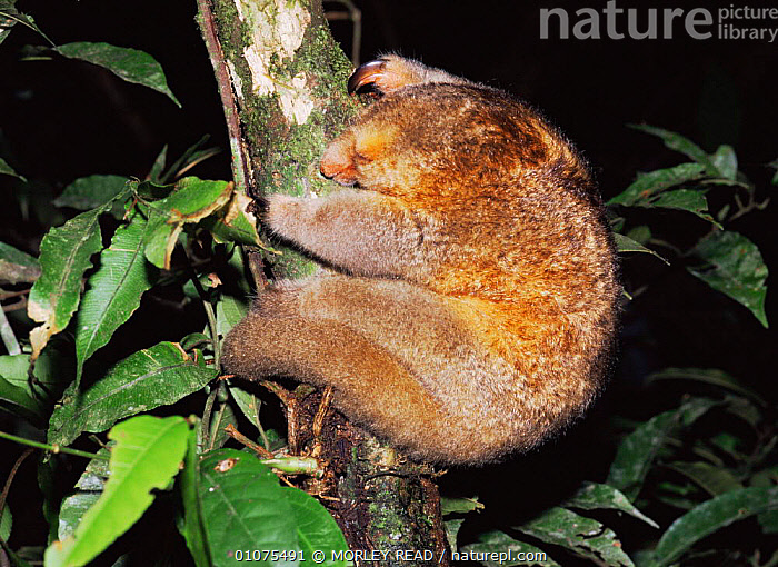Pygmy anteater {Cyclopes didactylus} climbing tree at night, Yasuni NP, Ecuador  ,  ANTEATERS,ARBOREAL,CUTE,EDENTATES,FUR,MAMMALS,NIGHT,NOCTURNAL,SOUTH AMERICA,TREES,TROPICAL,VERTEBRATES,Plants  ,  MORLEY READ