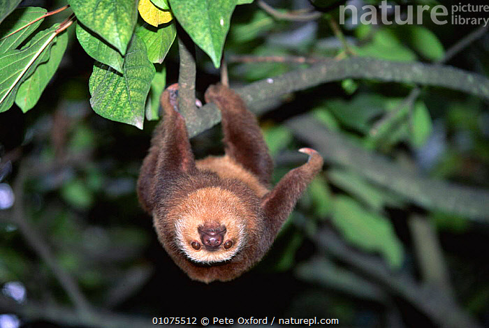 Hoffman's two-toed sloth {Choloepus hoffmanni} Ecuador, S. America. Captive  ,  COAST,EDENTATES,WEST,CUTE,MAMMALS,ARBOREAL,SOUTH AMERICA,AMERICA,HANGING,SOUTH,SLOTHS,TREES,Plants  ,  Pete Oxford