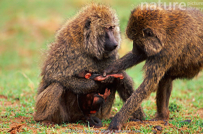 Olive baboon tries to snatch baby from its mother, Masai Mara, Kenya  ,  AFRICA,AGGRESSION,ANUP,AS,BABIES,BABY,CONFLICT,EAST AFRICA,FAMILIES,HORIZONTAL,KENYA,MAMMALS,MARA,MASAI,PARENTAL,PRIMATES,PROTECTING,RESERVE,SAVANNA,SHAH,SNATCHING,STEALING,GRASSLAND,CONCEPTS,MONKEYS  ,  Anup Shah