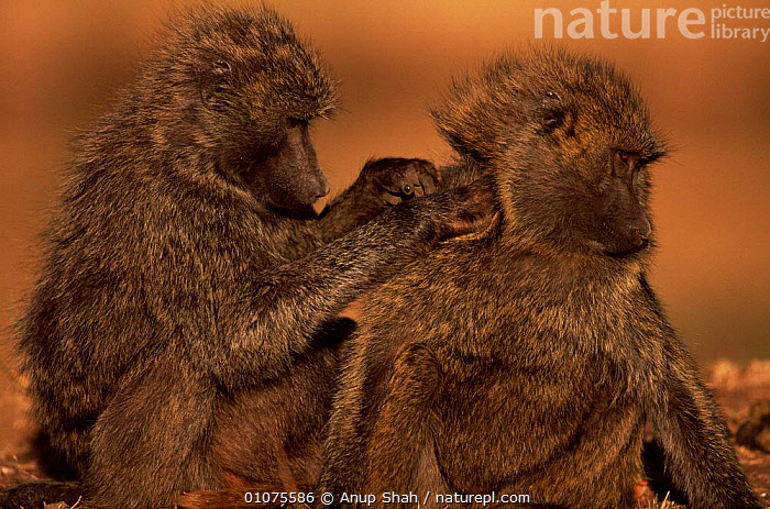Olive baboon grooming another, Masai Mara, Kenya  ,  AFRICA,ANUP,AS,BABOON,COOPERATION,EAST AFRICA,FRIENDSHIP,GROOMING,HORIZONTAL,KENYA,MAMMALS,MARA,MASAI,PRIMATES,SHAH,SOCIAL BEHAVIOUR,TWO,CONCEPTS,MONKEYS  ,  Anup Shah