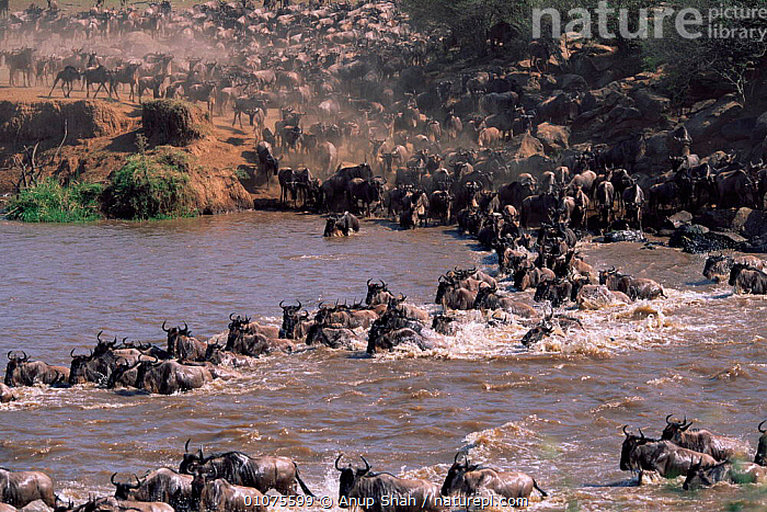 Wildebeest (Connochaetes taurinus) and Common zebra (Equus quagga) crossing Mara river during migration, Masai Mara NR, Kenya  ,  AFRICA,ANUP,ARTIODACTYLA,AS,CROSSING,EAST AFRICA,GROUPS,HORIZONTAL,KENYA,LANDSCAPES,MAMMALS,MARA,MASAI,MIGRATION,RIVERS,SHAH,SWIMMING,ANTELOPES,Catalogue1  ,  Anup Shah