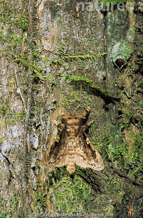Cryptic moth on tree trunk Amazonia, Ecuador  ,  ARTHROPODS,BARK,CAMOUFLAGE,DRAGONFLIES,INSECTS,INVERTEBRATES,ORTHOPTERA,SOUTH AMERICA,TROPICAL RAINFOREST,TRUNKS,VERTICAL,Plants,Lepidoptera  ,  Pete Oxford
