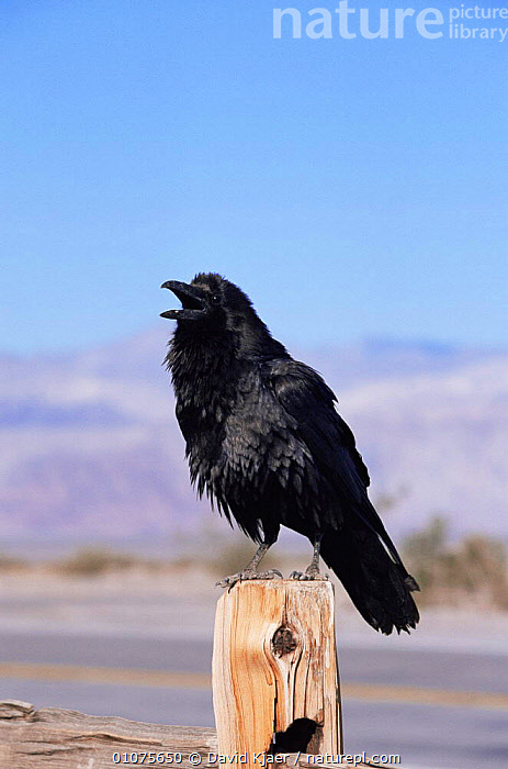 Common raven perched on fence post {Corvus corax}, Death Valley, California, USA  ,  BIRDS,CORVIDS,CROWS,PASSERINES,PORTRAITS,USA,VERTEBRATES,VERTICAL,North America  ,  David Kjaer